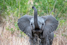 Baby Elephant Waving Trunk In Kruger Park South Africa