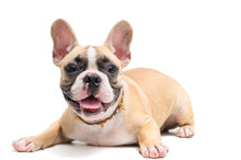 Cute French Bulldog Sitting Is...