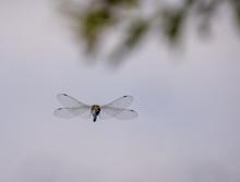 Hawker Dragonfly Flying Away.