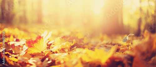Obraz Autumn leaves background. Yellow maple leaf over blurred texture with copy space. Concept of fall season. Golden autumn card - fototapety do salonu