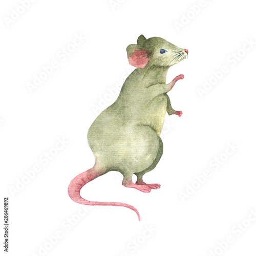 Fototapeta Watercolor drawing mouse stands on its hind legs.