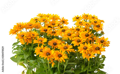 Photo Rudbeckia hirta