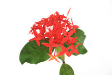 Red Ixora Flowers Bunch On White Background.