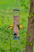 Two Goldfinches Sitting On Bird Feeder In Forest