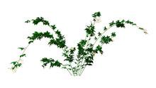 3D Rendering Bramble Plant On White