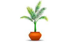 Coconut Tree In Pot On The White Background