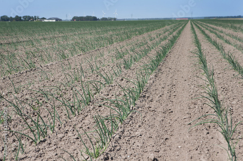 Fotografija Growing onions. Polder netherlands. Agriculture. Fields