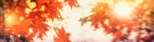 Fototapeta  Autumn leaves on tree lit by golden sunlight in late afternoon, Autumn leaf, beautiful nature in autumn obraz