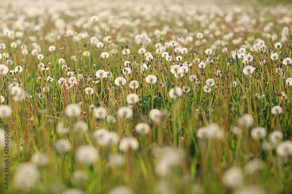 Fototapety, obrazy: white dandelion field / fluff flies, dandelion seeds, summer, wild flowers in the field, landscape seasonal nature