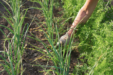 Green Sprouts Of Garlic Grow In Rows In The Garden. Female Hand Processes Garlic Beds