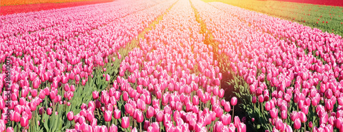 Photo sur Toile Rose banbon Banner with big field of pink tulips