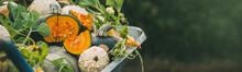 Different Pumpkins In An Autumn Garden. Harvest Of Pumpkins. Banner For Your Design.
