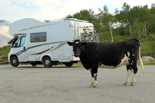Black White Cow Standing In Front Of A Mobile Home Parking In Front Of Beautiful Landscape
