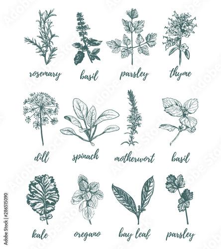 Fototapeta Herbs and spices vector illustration. obraz