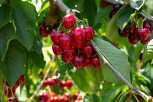 Ripe Red Cherries On Trees