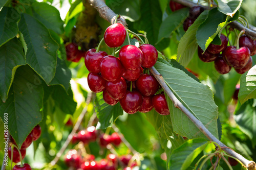 Foto Ripe red cherries on trees