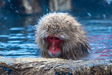 Japanese Macaque Or Snow Japan...