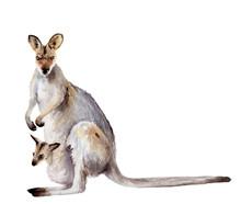 Australia Animal Watercolor Drawing: Kangaroo With Cub