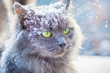 Gray Snow-covered Cat With Green Eyes In Winter Outdoors_