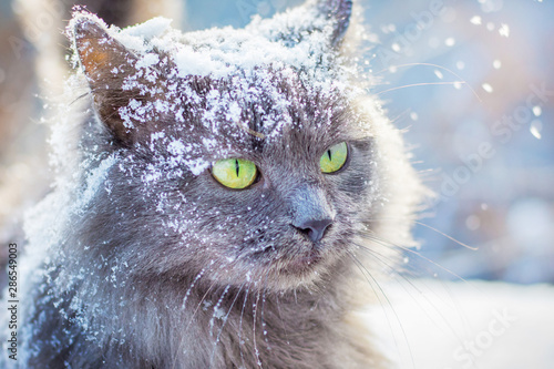 Fotografia Gray snow-covered cat with green eyes in winter outdoors_