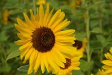 Decorative Sunflower Flowers I...