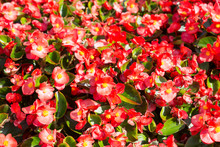 Red Flowers Begonias Everlasti...