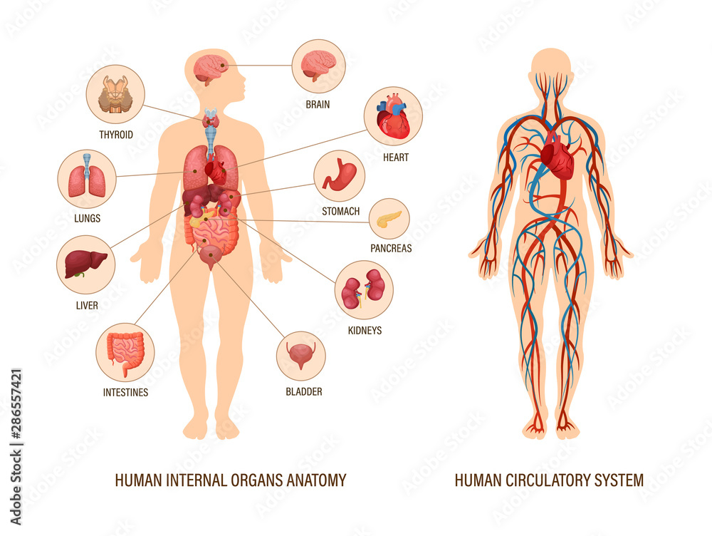 Fototapeta Human body anatomy infographic of structure of human organs
