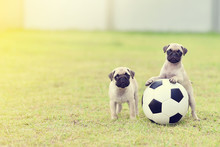 Cute Puppies Pug Playing Together With Football