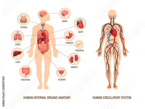 Carta da parati Human body anatomy infographic of structure of human organs