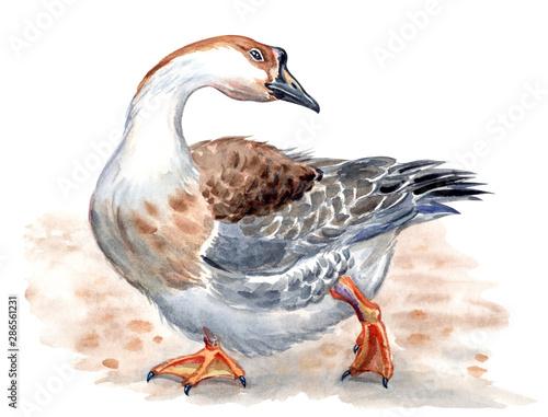 Fototapeta Domestic goose, Kholmogory breed, watercolor illustration, animalistic