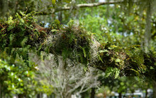 Spanish Moss And Ferns On A Live Oak Branch