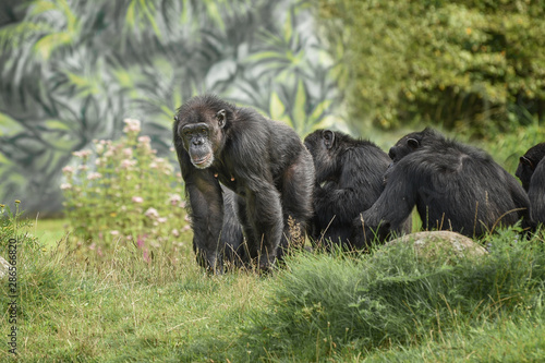 Community of chimpanzee are endangered and threatened by bushmeat hunters Wallpaper Mural