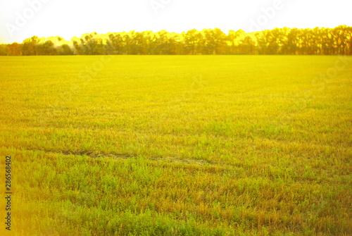 Poster Jaune yellow field of rape