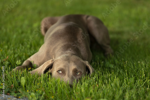 Suspicious Weimaraner breed dog lying on a grass lawn and looking up Canvas Print