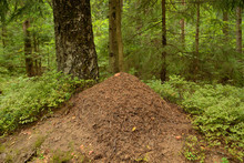 Big Ant Hill In The Summer For...