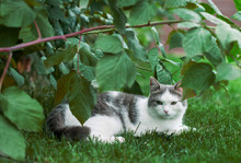 Gray  The Beautiful Cat Is Experiencing Discontent Sitting On Green Lawn On The Street