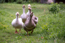 Domestic Geese Graze On Tradit...