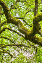 Mossy Branches Of Mighty Ancient Oak Tree, Summer Forest. Oak Bark Covered Moss