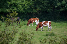 Brown-white Cows In The Pastur...