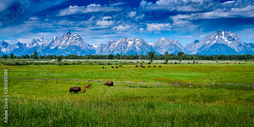 Fototapeta Bison grazing at Grand Teton National Park.