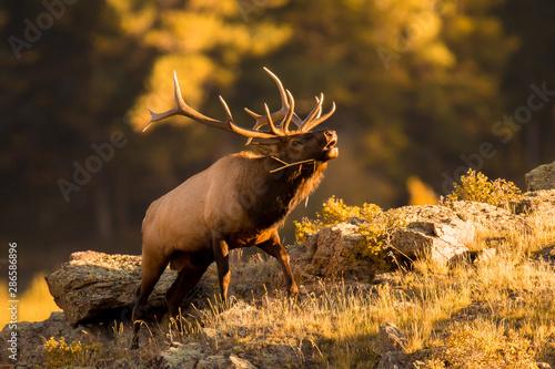 Photo Rocky Mountain bull elk bugling