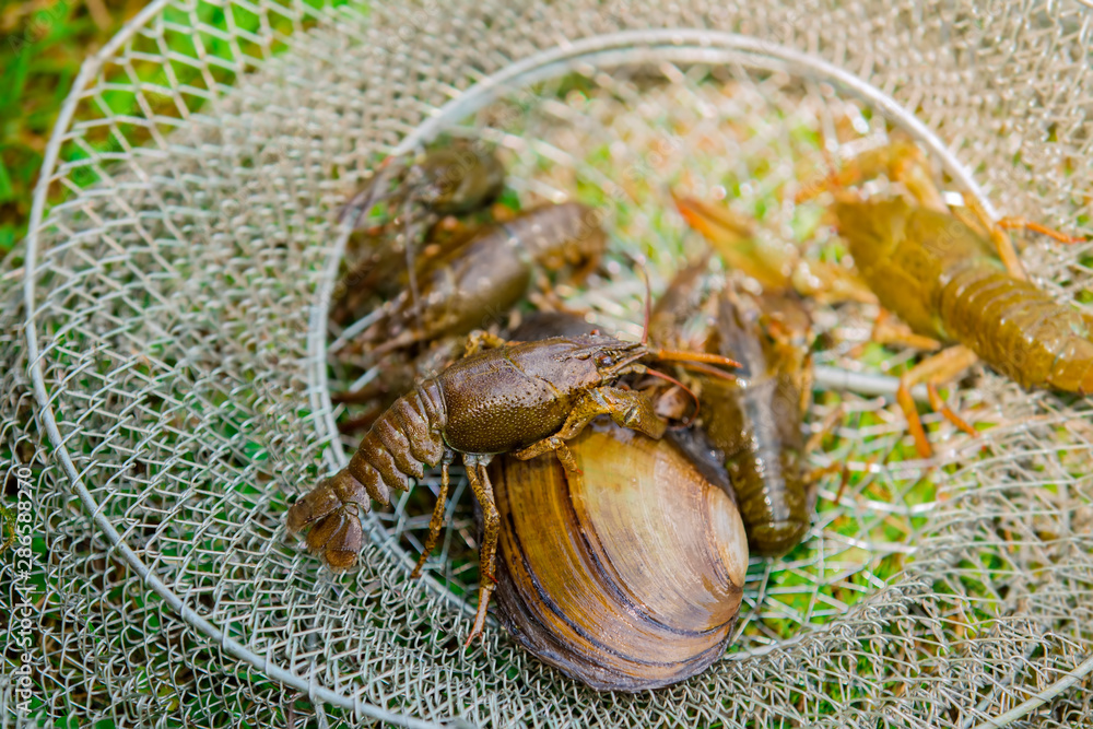 Live crayfish and mussel on the grass, caught crayfish near the cage