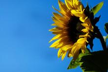 Huge Sunflower Against Blue Sky