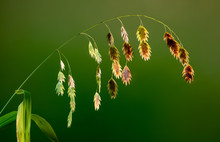 Seeds Of Northern Sea Oats (Ch...