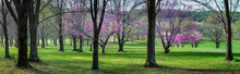 Eastern Redbud Trees Growing Among Oaks And Other Hardwoods In Central Virginia.
