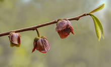 Flowers And First Leaves Of Pawpaw Tree (Asimina Triloba) In Forest Of Shenandoah National Park In Virginia