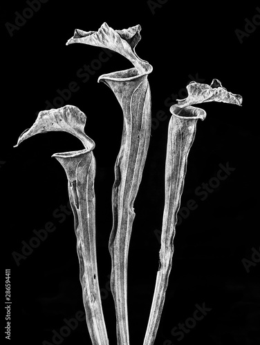 Pinturas sobre lienzo  Dried pitchers of yellow trumpet pitcher plant from previous year's growing season