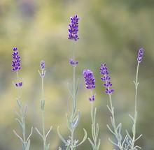 Hidcote Blue Lavender Flowers ...