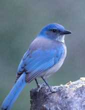 Woodhouse Scrub Jay On Perch