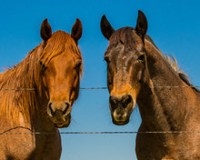 Two Horses Looking Over Wire F...